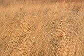 Dried yellow grass