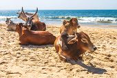 Bull And Cows On The Beach