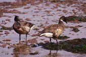 Brant  Goose Pair Wading