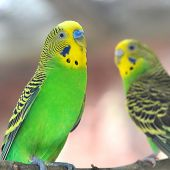 picture of parakeet  - Beautiful Colorful parakeet resting on tree branch - JPG