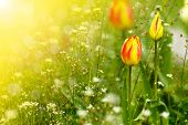 stock photo of early spring  - beautiful spring tulip in the sun in early spring