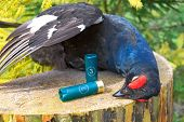 Hunting Trophy. The Black Grouse Close-up And Ammunition For Hunting Rifles.