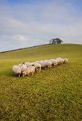 Folck of grazing sheep