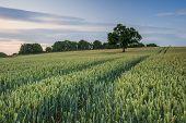 Field of ripening wheat