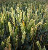 Heads of Wheat
