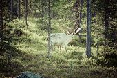 stock photo of caribou  - Reindeer stag with exceptionally long antlers.Scandinavia .