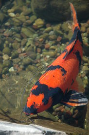 stock photo of koi fish  - Koi fish coming up to the surface looking for food - JPG