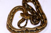 Motley Mutation Reticulated Python (python Reticulatus)