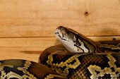 image of burmese pythons  - beautiful Burmese Python  - JPG