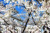 Sakura Season, Kyoto, Japan