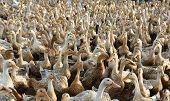Flock Of White Duck