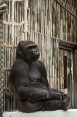 stock photo of gorilla  - Western lowland gorilla  - JPG