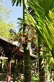 Jelly Palm (Butia capitata )