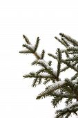 Fir Branches With Snow On White Background