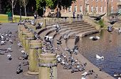 Pigeons on riverbank, Derby.