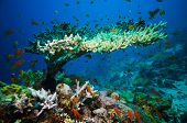 image of marines  - Coral reef with branching coral and colorful tropical fish swimming underwater in a natural marine ecosystem attracting eco - JPG
