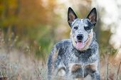 Portrait Of Australian Cattle Dog