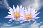 Lotus on the sky background