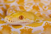 Reticulated python,albino / Python reticulatus