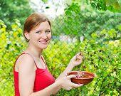 young woman in summer garden gathering berries