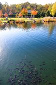 Novi Petrivtsi, Ukraine - October 14: The Pond With Fishes Is Near