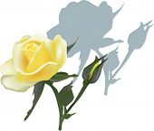 illustration with light yellow rose isolated on white background