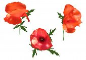 illustration with three poppy flowers isolated on white background