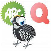 Q is for Quail Bird
