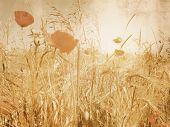 Vintage corn field with poppies in soft sepia effect