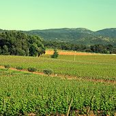 French Vineyard,provence