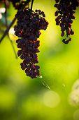 Overripe Grape
