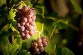 Mature Grape