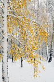 Birch trees in fall colors and fresh snow