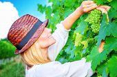 Happy woman on the vineyard, picking fresh ripe grape bunches, tasty sweet fruits, autumn harvest season, wine making concept