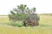 Tree With Sociable Weaver Community Bird Nest
