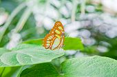 The Malachite Butterfly On Leaf