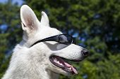 White Swiss Shepherd With Sun Glasses On Her Mazzle