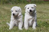 Two White Swiss Shepherds Puppies