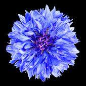 Blue Cornflower Flower Isolated On Black Background