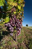 Purple Grapes Hang On The Vine