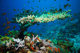 picture of ecosystem  - Coral reef with branching coral and colorful tropical fish swimming underwater in a natural marine ecosystem attracting eco - JPG