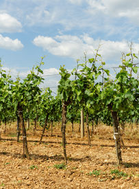 stock photo of tokay wine  - Beautiful landscape in the Tokay grapes  - JPG