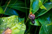The little snail on a wet plant