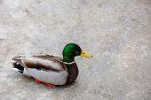 Duck on frozen lake
