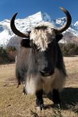 picture of yaks  - Yaks on the way to Everest base camp  - JPG
