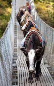 Yaks On Hanging Suspension Bridge
