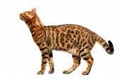 Bengal Cat Standing And Sniffing On White
