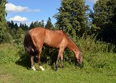 Horse at grazing.