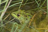 Endangered Chiricahua Leopard Frog (lithobates Chiricahuensis)