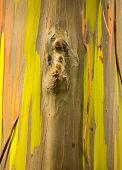 pic of eucalyptus trees  - Close up of the colorful bark and tree trunk of the Rainbow Eucalyptus tree at Keahua Arboretum in Kauai Hawaii USA - JPG